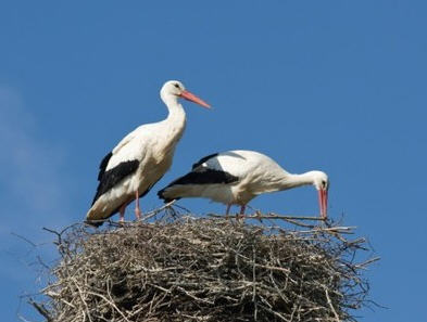 The mayor doesn't want to watch the stork's nest from the same angle with Viktor  Orbán