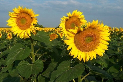Sunflowers in the good old days in Kishantos